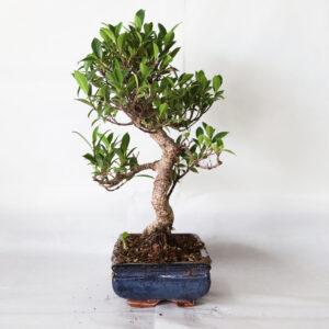 bonsai ficus bologna
