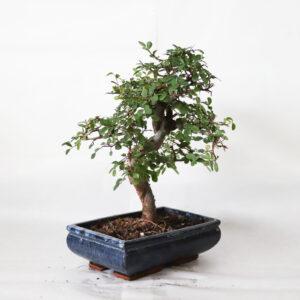 bonsai olmo bologna