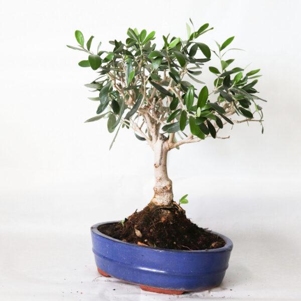 bonsai bologna olivo