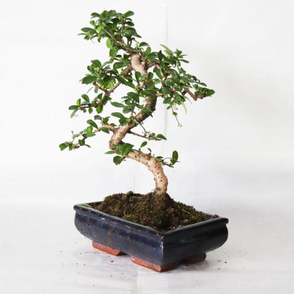 bonsai carmona bologna